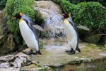 Waddling King Penguins