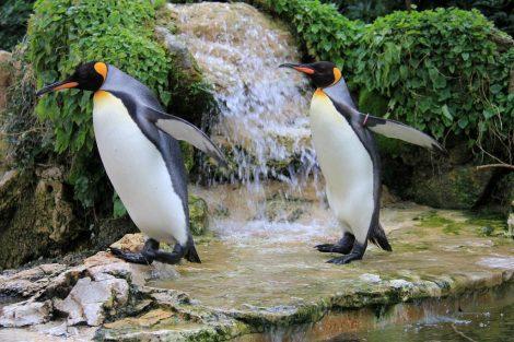 Waddling King Penguins
