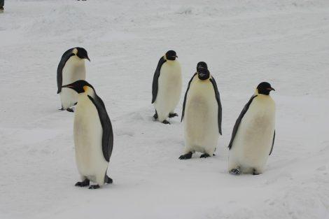 Why don't polar bears eat penguins