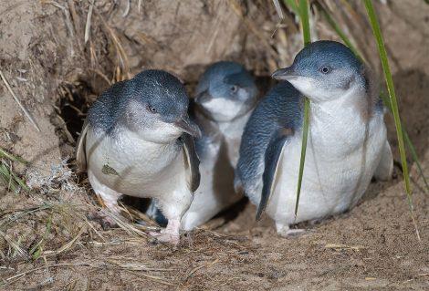 fairy penguins/little penguins