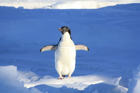 penguin breathing on the surface