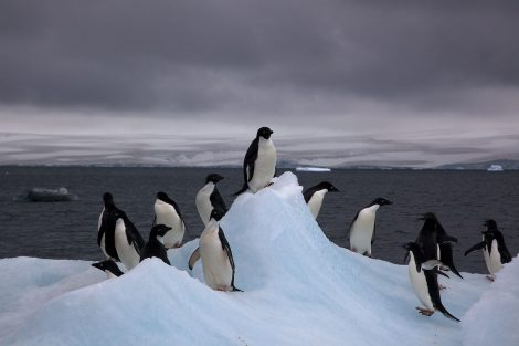 are there penguins in alaska?
