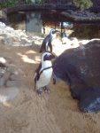 African penguins in Kaanapali Beach, Maui