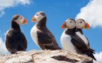 Atlantic puffins on a clifftop