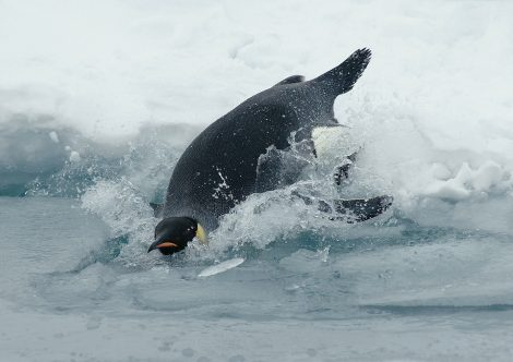 Blubber Helps Penguins to Adapt to Cold Environment