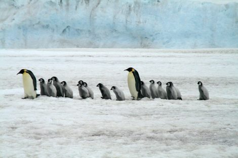 Dead Penguins Often Get Eaten by Predators