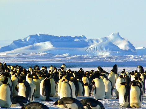Emperor Penguins Use Huddling As An Adaptation to Survive Antarctic Winter