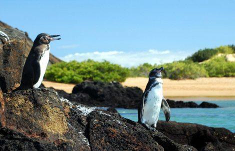 Galapagos penguins in Galapagos Island