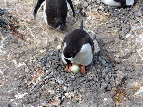 Gentoo penguin laying egg