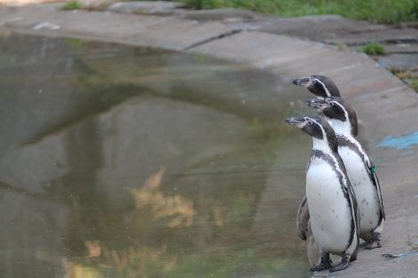 Humboldt penguins in the zoo