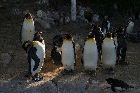 King penguins and African penguins