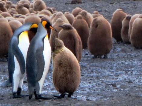 King penguins and group of young ones