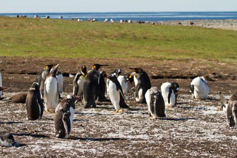King penguins in Falkland Island