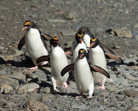 Macaroni Penguins at Cooper Bay, South Georgia