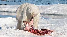 polar bear eating a seal