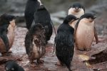 Adelie penguins and chick