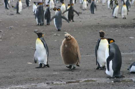 King penguin and chicks
