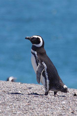 Magellanic penguin in Peninsula Valdes Argentina