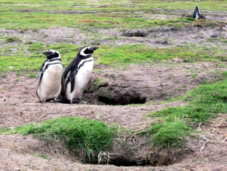 Magellanic penguins and burrows