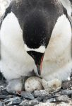 gentoo baby penguins eggs